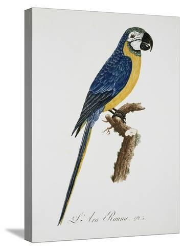 Blue and Gold Macaw-Jacques Barraband-Stretched Canvas Print
