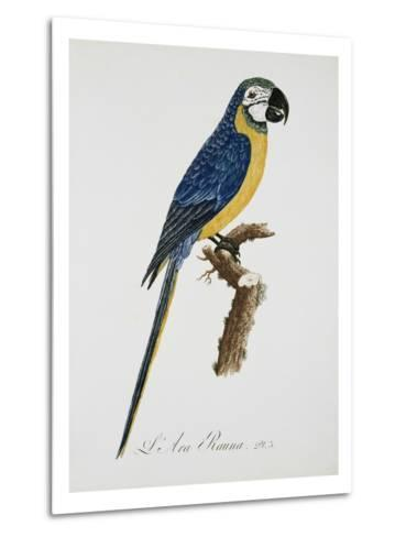 Blue and Gold Macaw-Jacques Barraband-Metal Print