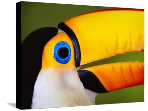 Head and Beak of a Toco Toucan-Theo Allofs-Stretched Canvas Print