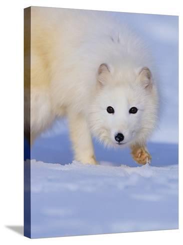 Arctic Fox Walking Across Snow-Theo Allofs-Stretched Canvas Print