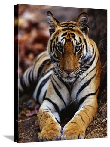 Young Female Tiger Lying on Rock-Theo Allofs-Stretched Canvas Print