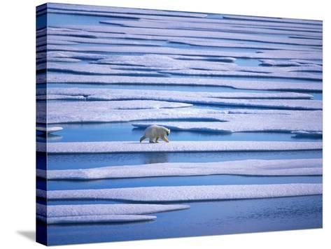 Polar Bear on Pack Ice-Hans Strand-Stretched Canvas Print