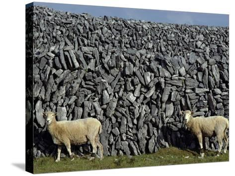 Hobbled Sheep by a Dry Stone Wall-Alen MacWeeney-Stretched Canvas Print