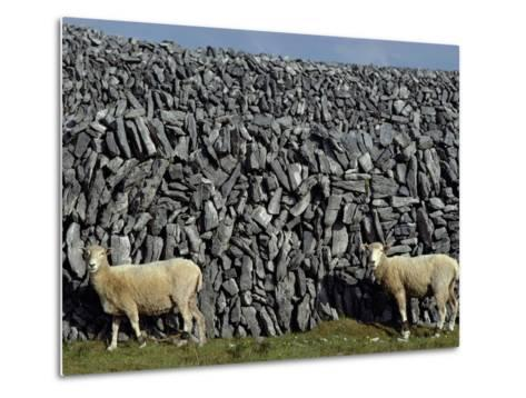 Hobbled Sheep by a Dry Stone Wall-Alen MacWeeney-Metal Print
