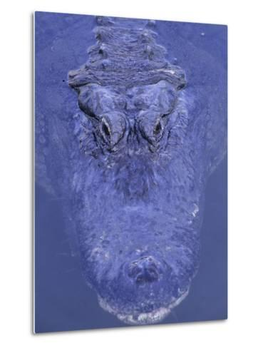 American Alligator in Water-Daniel Cox-Metal Print