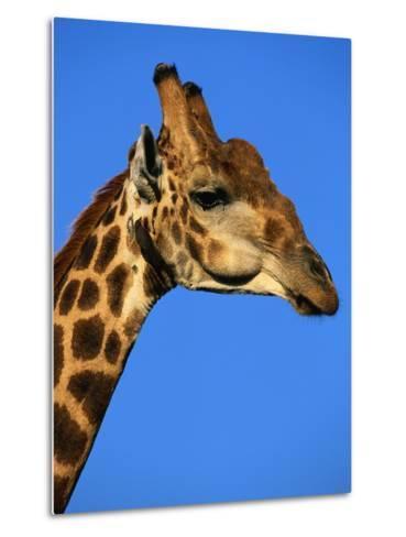 Red-Billed Oxpecker on Giraffe's Head--Metal Print