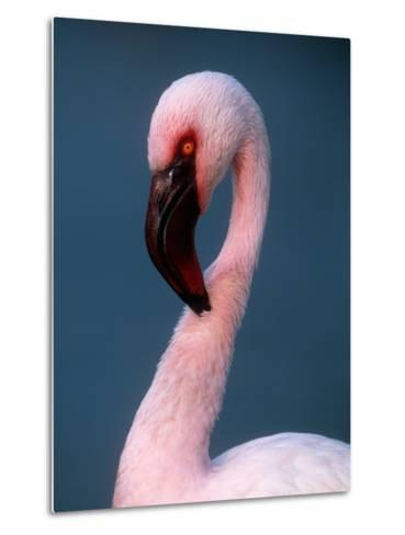 Lesser Flamingo--Metal Print