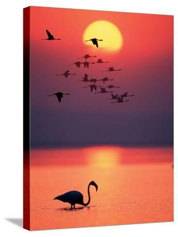 Greater Flamingos at Sunset--Stretched Canvas Print