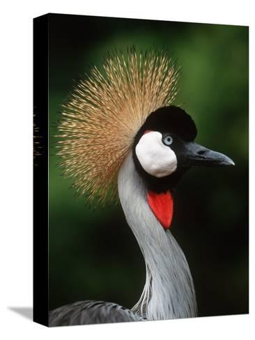 Grey Crowned Crane-Martin Harvey-Stretched Canvas Print