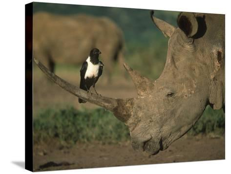Pied Crow Perched on White Rhino-Martin Harvey-Stretched Canvas Print