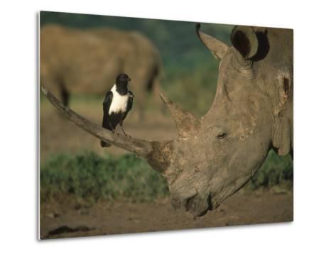 Pied Crow Perched on White Rhino-Martin Harvey-Metal Print