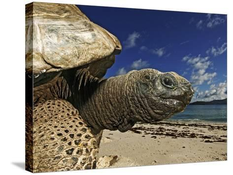 Giant Tortoise on the Beach-Martin Harvey-Stretched Canvas Print