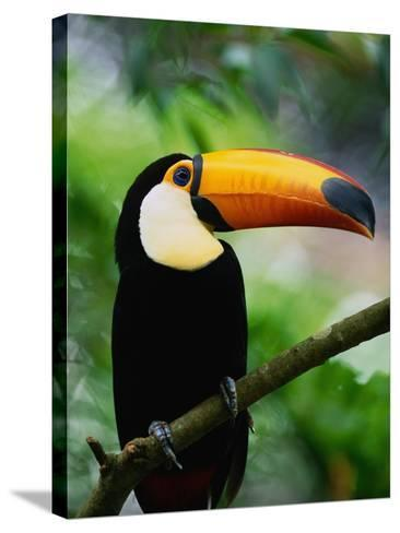 Toco Toucan-Kevin Schafer-Stretched Canvas Print