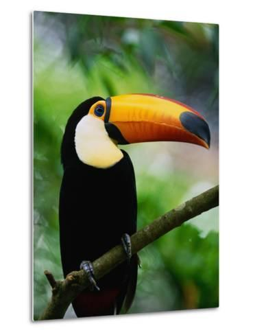 Toco Toucan-Kevin Schafer-Metal Print