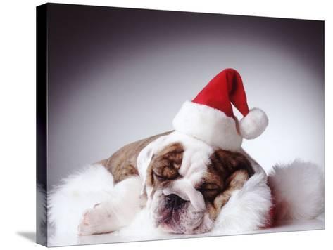 Bulldog Wearing Santa Hat-Larry Williams-Stretched Canvas Print