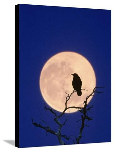 Full Moon over Raven in Tree-Aaron Horowitz-Stretched Canvas Print