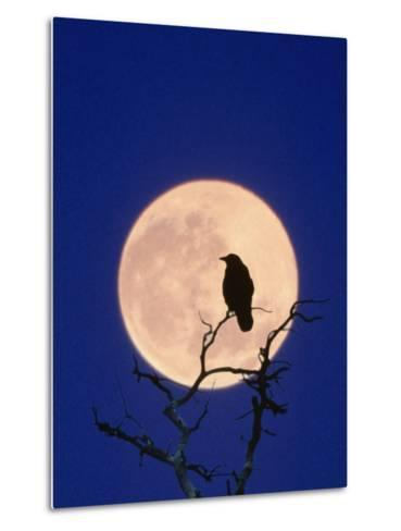 Full Moon over Raven in Tree-Aaron Horowitz-Metal Print