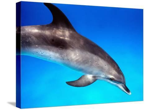 Atlantic Spotted Dolphin-Bill Varie-Stretched Canvas Print