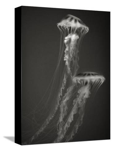 Two Jellyfish-Henry Horenstein-Stretched Canvas Print