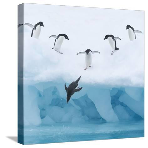 Penguins Jumping into Water-Tim Davis-Stretched Canvas Print