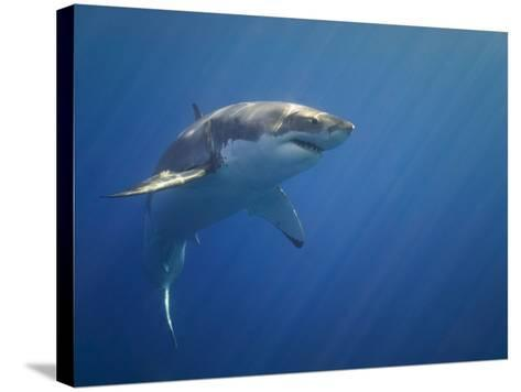 Shark in Open Water-Tim Davis-Stretched Canvas Print