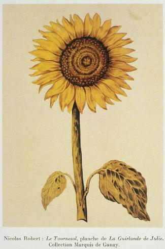 The Sunflower-Nicolas Robert-Stretched Canvas Print