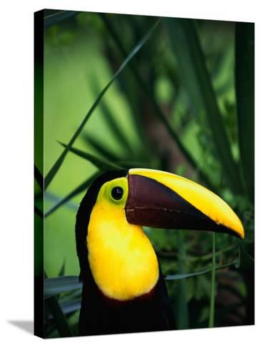 Chestnut-Mandibled Toucan-Tom Brakefield-Stretched Canvas Print
