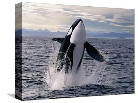 Breaching Killer Whale-Tom Brakefield-Stretched Canvas Print