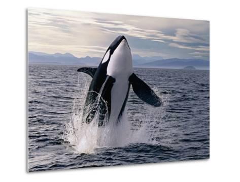 Breaching Killer Whale-Tom Brakefield-Metal Print