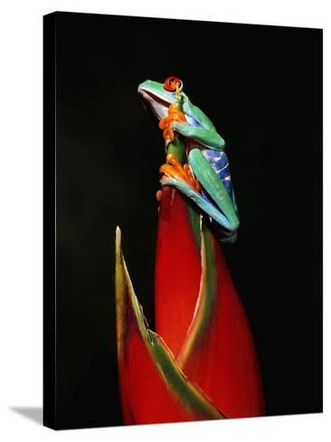 Red-Eyed Tree Frog-Robert Marien-Stretched Canvas Print
