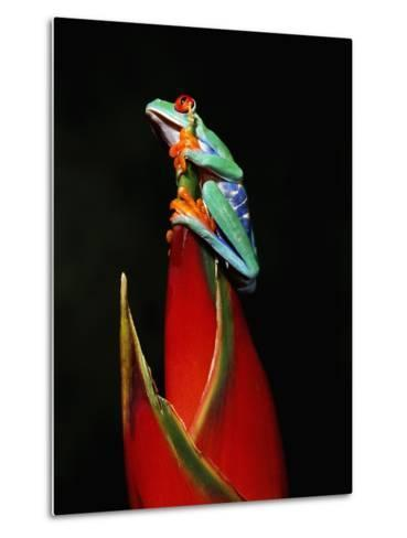 Red-Eyed Tree Frog-Robert Marien-Metal Print