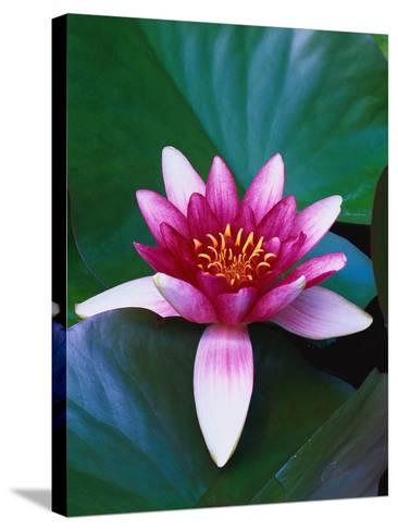 Red Water Lily-Robert Marien-Stretched Canvas Print