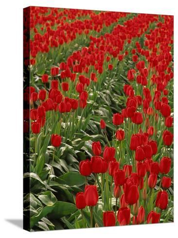 Red Tulips-Robert Marien-Stretched Canvas Print