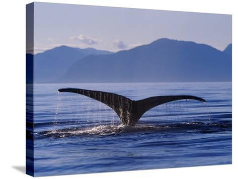 Humpback Whale Diving--Stretched Canvas Print