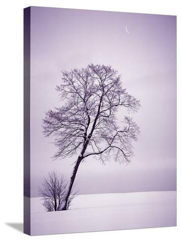 Lone Tree in Snow-Jim Zuckerman-Stretched Canvas Print
