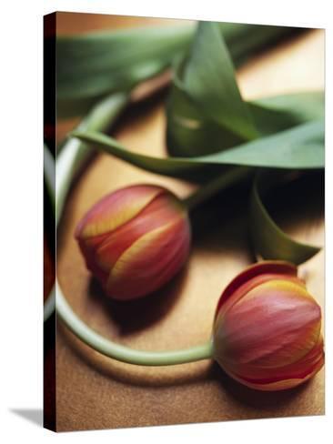 Orange Tulips-Colin Anderson-Stretched Canvas Print