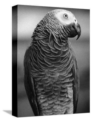 Parrot Turning Head-Henry Horenstein-Stretched Canvas Print