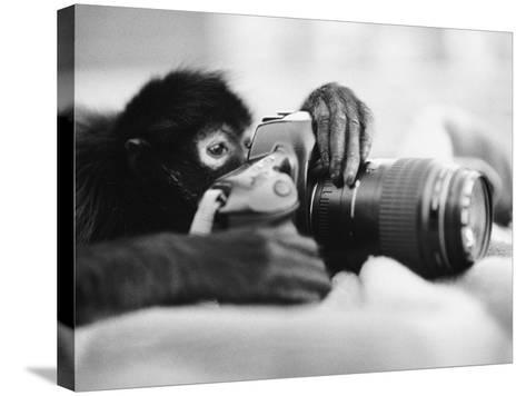 Monkey Holding Camera-Henry Horenstein-Stretched Canvas Print