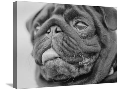 Pug Dog's Face-Henry Horenstein-Stretched Canvas Print