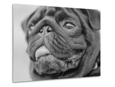 Pug Dog's Face-Henry Horenstein-Metal Print