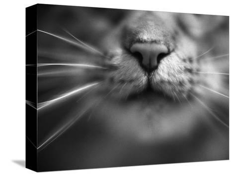 Cat's Nose and Whiskers-Henry Horenstein-Stretched Canvas Print
