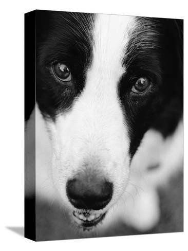 Head of Border Collie-Henry Horenstein-Stretched Canvas Print