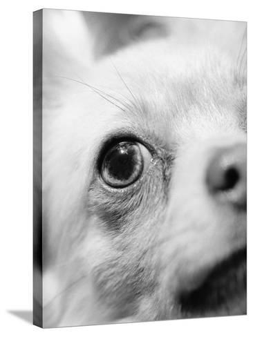 Eye of Chihuahua-Henry Horenstein-Stretched Canvas Print