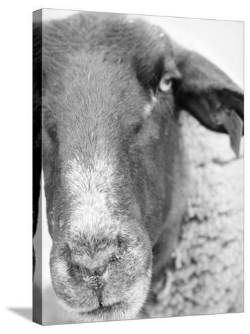Sheep's Face-Henry Horenstein-Stretched Canvas Print