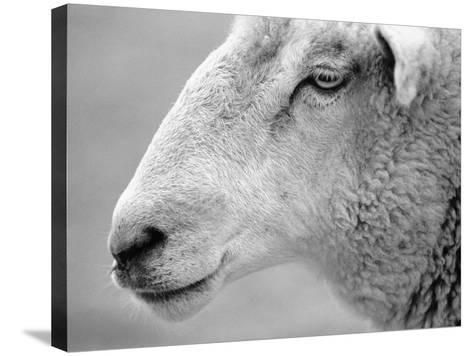 Side of Sheep's Face-Henry Horenstein-Stretched Canvas Print