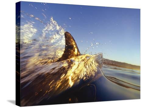 Dolphin Swimming in Ocean-David Pu'u-Stretched Canvas Print