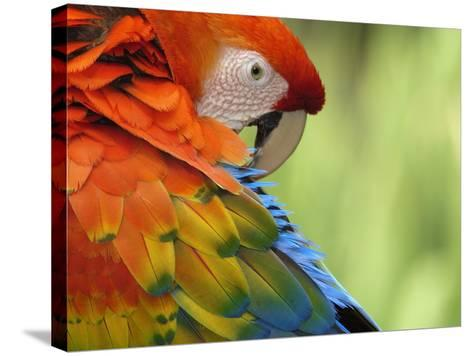 Colorful Scarlet Macaw-Ralph Clevenger-Stretched Canvas Print