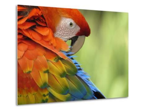 Colorful Scarlet Macaw-Ralph Clevenger-Metal Print