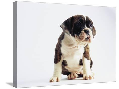 Bulldog Puppy-Jim Craigmyle-Stretched Canvas Print