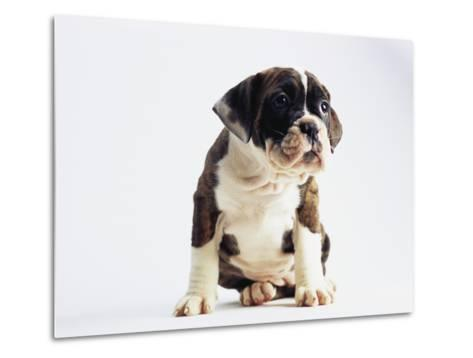 Bulldog Puppy-Jim Craigmyle-Metal Print
